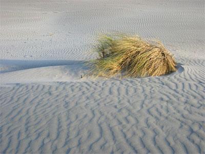 Sandgras