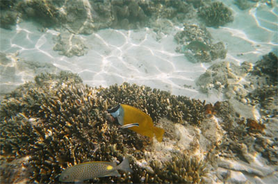 Foxface_Rabbitfish